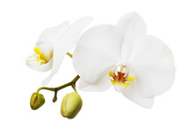 Branch Of A Blooming White Orchid Having A Yellow Color On The Lip. Flowers Isolated