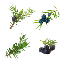 Set Of Branches With Black Juniper Berries Isolated