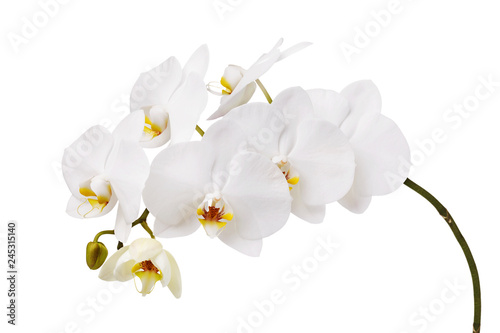 Fototapeta An isolated branch of a beautiful white orchid having a yellow color at the lower petals obraz