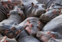 Hippo Pod Resting In The Mara River
