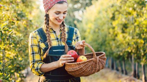 Fotografie, Obraz  Obstbäuerin erntet Apfel in einen Korb