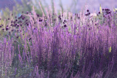 Fototapety, obrazy: Violet flowers on thin stems with a solid background close to each other. Perovskaya Small spire 4