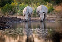 Two Rhinos, Ceratotherium Simu...