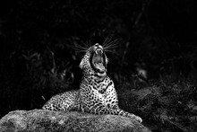 A Leopard, Panthera Pardus, Lies On A Boulder And Yawns, Mouth Open Showing Teeth, Head Tilited Back, Long White Whiskers, In Black And White.