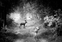 Two African Wild Dogs, Phacochoerus Africanus, Standing On A Path.