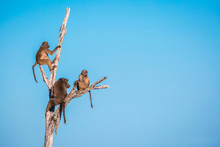 A Troop Of Baboons, Papio Ursi...