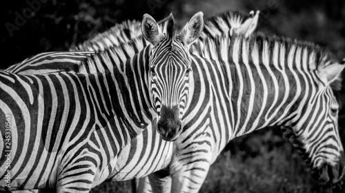 A zebra, Equus quagga, alert, zebra in background, ears forward, in black and white. - 245330563
