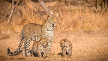 A Mother Leopard, Panthera Pardus, Stands In The Sun In An Open Grassland, Looks Away, Her Two Cubs Stand Beneath Her.