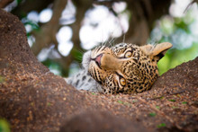 A Leopard Cub's Head, Panthera Pardus, Lies In The Sand, Head Tilted, Alert, Brown Yellow Eyes