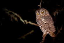 A Scops Owl, Otus Scops, At Night, Perched On Branch, Alert, Yellow Eyes