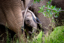 An Elephant Calf, Loxodonta Africana, Stands With Two Elephant's Tails Drapped Over Its Face, Trunk Curled In, Green Grass