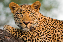 Portrait Of Leopard Lying On T...