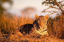 Portrait Of Leopard Sitting On...