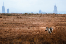 Zebra Stand In Front Of The City In Savanna And Looking At The Nairobi City From Nairobi National Park In Kenya. Contrast Situation. Animal Planet.
