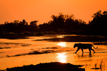 A Silhouette Of A Lioness, Panthera Leo, Walking Across Shallow River With Reflections Of The Sunset And Silhoutted Trees In The Background.