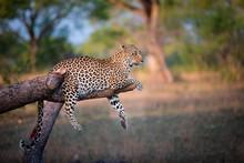 Leopard Lying On Broken Tree B...