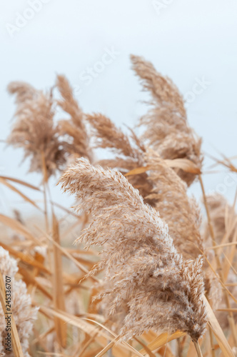 Reeds yellow and dry in the mist of an autumn day Fotobehang