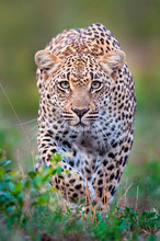 Portrait Of Leopard Walking In Sabi Sands Game Reserve