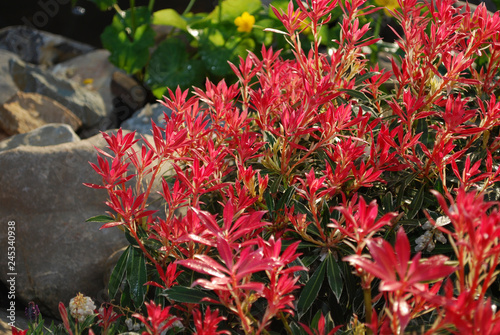 Fotografiet Pieris japonica Flaming Silver evergreen shrub with purple-pink foliage grown in the rock park