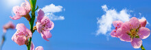 Pink Flowers And Blue Sky In Spring, Banner