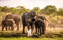Eine Herde Elefanten Beim Trinken Und Schlammbad Am Chobe River In Botswana, Im Vordergrund Fliegt Ein Kuhreiher Auf