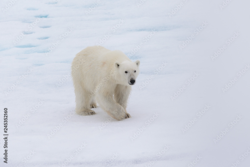 Polar bear (Ursus maritimus) on the pack ice north of Spitsbergen Island, Svalbard
