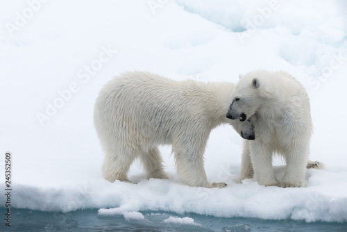 Canvas Prints Polar bear Polar bear (Ursus maritimus) mother and cub on the pack ice, north of Svalbard Arctic Norway