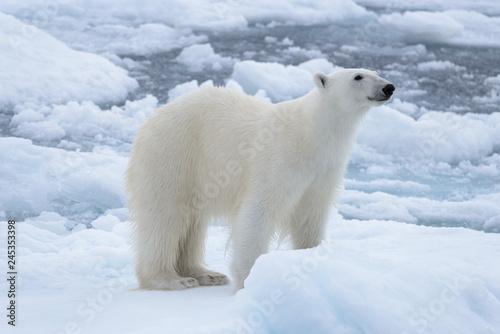 Recess Fitting Polar bear Wild polar bear on pack ice in Arctic sea close up