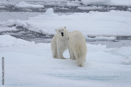 Wall Murals Polar bear Two young wild polar bears playing on pack ice in Arctic sea