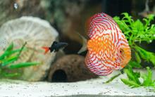 Orange Discus Fish