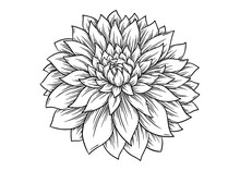 Hand Drawn Dahlia Flower. Vector Illustration - Vector