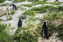African Penguin (Spheniscus Demersus), Also Known As Jackass Penguin And Black-footed Penguin - Species Of Penguin, Confined To Southern African Waters. Boulders Beach Near Cape Town, South Africa.