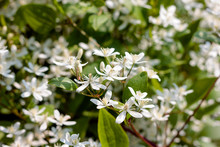 White Shallow Clematis Flowers