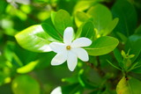 White fragrant tiare flower (Gardenia taitensis) growing on a plant in Bora Bora, French Polynesia
