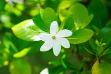White Fragrant Tiare Flower (G...
