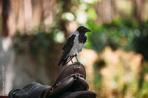 Photo  Crow looks ahead