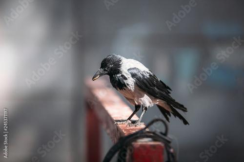 Obraz na plátne raven holding a coin