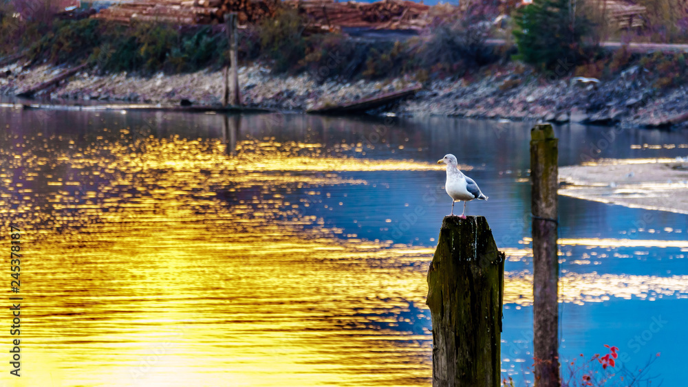Sunset over a Seagull sitting on a post in the Harrison River in the Fraser Valley of British Columbia, Canada
