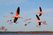 A Flock Of Flying Flamingos In...