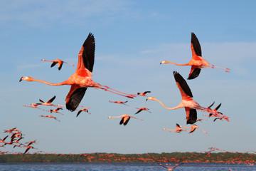 A flock of flying flamingos in Celestun