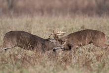 Two White-tailed Deer Bucks Sp...