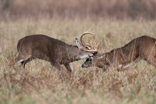 Two White-tailed Deer Bucks Sparring