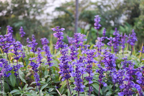Fotografering  purple flower in soft blur Background