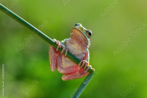 Beautiful Europaean Tree frog Hyla arborea - Stock Image