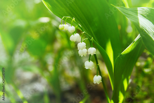 Foto auf Gartenposter Grun lily of the valley, valley lily