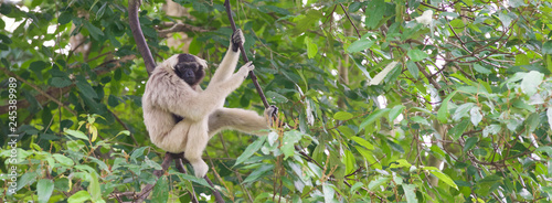 Photo pileated gibbon sitting on the tree wildlife photography for banner background,