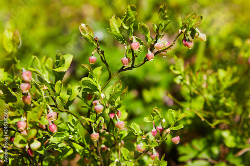 Photo Stands Roe A shrub of European blueberry (Vaccinium uliginosum) in bloom in the forest in May. Bushes with Green unripe blueberry in early spring. Wild Young blueberry in blooming.