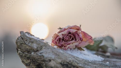 Fotomural Verblühte Rose im Winter Stillleben