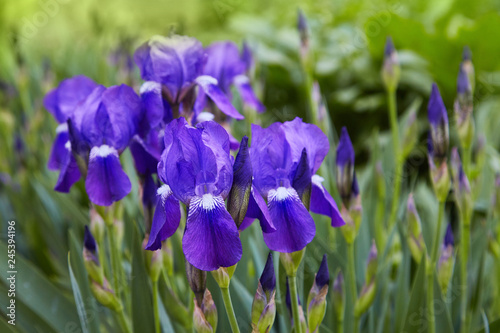 Photo sur Toile Iris Violet-blue flowers of bearded iris (Iris germanica) on a green background of meadow grasses
