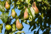 Plenty Of Pears Growing On A Tree. Blue Sky Background